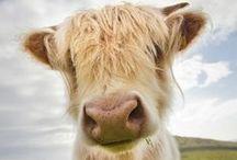 Animals - Cows / by Britta