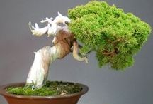 i.c. BoNSai  (trees) / i started placing BoNSai trees on my JaPaN board (check it out) but..... OMG! they are just so beautiful, and there are so many, that i think they deserve their own board.... so look at them in amazement....  / by a.l.s