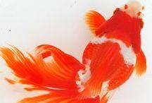 002  Fantail Goldfish, Koi, & Water Lily Bulletin Board Project / fantail goldfish, koi, fish, water lilies / by Nancy King-Badran