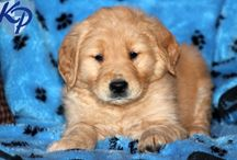Golden Retriever Puppies / Golden Retriever puppies or sale / by Keystone Puppies