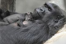 Primates of the World / Gorillas, chimps, and other great apes in and out of zoos / by Patricia H