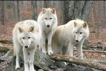 Wolves / by Suzanne Abbott