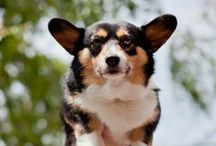 Man's Best Friend / All things doggie related. And CORGIS! LOTS AND LOTS OF CORGIS! / by Jackie Johnson