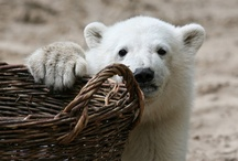Knut  / by girlwithacake