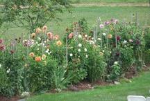 Dahlias / Beautiful New England dahlias! / by Salem Cross Inn