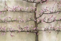 Espalier Trees / by Laura Fenton
