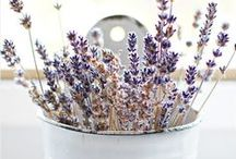 ♥FoCuS DeLiCaTe LaVenDeR / ✿ Lovely & Romantic Lavender ✿ / by MyFairyLily
