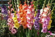 Gladiolous / by Cynthia Brunz Designs