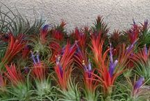 Tillandsia's (Air plants) and Bromeliads / by Margaret Tawale
