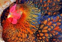 I love all things chicken / by Denise Ferrari