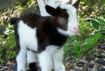 goats / by Leanne Valentyn