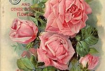 Beautiful Rose art pictures / Rose prints and paintings / by Patricia Rose