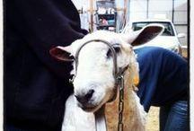 Sheepish / by Backyard Industry