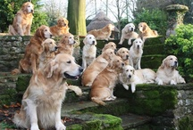 Golden Retrievers & Dog Quotes / My love for Golden Retrievers never ceases. / by Brittany