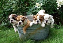 Bulldogs, Bulldogs, Bulldogs!!! I love Bulldogs! English, French, Old English, American.....I love all breeds of Bulldogs!!!! / by Heidi Warenski
