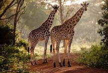 Giraffes! / Giraffes ~ Definitely (one of) my favorite animals! They are just so cool; I've always loved them. x3 / by Misty the Cat