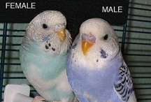 For The Love Of Parakeets!!! / In Memory Of Peety & Skyler my two talkers!! Gone but never forgotten!!! / by Susie Koscicki