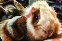 Guinea Piggies / Information on guinea pig cages, care, health, bedding and costumes! Also, just uber cute pictures of guinea pigs from all over! This is inspiration for stuff for my own guinea pig Stuart (a.k.a. STU) / by Rachel Williams