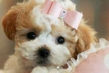 Teacup  Puppy's / by My name is Jacqueline Roseboom