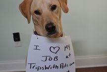 Tucker the TWP Travel Pooch / Tucker is the TripsWithPets.com travel pooch.  He loves to travel, help around the office, and play. Check him out! / by TripsWithPets.com
