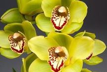 Tropical Plants / Winter is a wonderful time to enjoy tropical plants indoors. Among our favorites are Orchids and Cybister Amaryllis, which can make your home feel exotic in an instant. Easy and fun to grow, they are elegant decorating accents and they make an excellent gift.  / by White Flower Farm