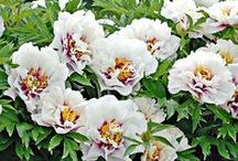 Mid-Season Peonies / For many gardeners, blooming Peonies mark the highest point of the year. Apart from sensational blooms (they are striking in bud as well), they provide lovely foliage and longevity. They rank among the very best cut flowers and do not require a great deal of maintenance work in the garden. In short, we encourage you to include at least a few in your beds and borders. You won't be disappointed!  / by White Flower Farm