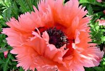 """Poppies / Oriental Poppies are one of the most brilliant herbaceous perennials to grace the early summer garden. The flowers appear to be fashioned of crepe paper and can be more than 6"""" across on stems to 3' in height. Colors vary from true neon hues to gorgeous pastels.  Plant Poppies in groups in a sunny, well-drained position and match them with summer bloomers or annuals that spread out and will conceal their early dormancy. / by White Flower Farm"""