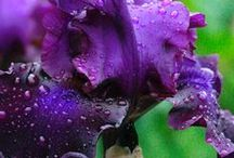 Radiant Orchid Purple Flowers / by Bridget @ Holland Bulb Farms