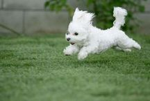 The Bichon Nation / A photographic affair with the Bichon / by Catherine Taylor