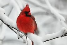 Cardinals / by Sandy Cornwell
