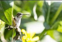Hummingbirds / by Franny Doherty