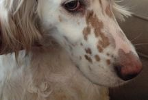 English Setters / by Diane Behn