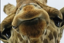 ANIMALS...Long-Neckies :) / Giraffes just make me SMILE :D / by Ronnie Turner