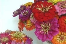 Flowers...Zinnias Forever / by Rosa de Vaux