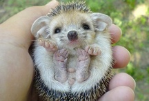 Hedgehogs make me happy! / by Shirley DeChenne