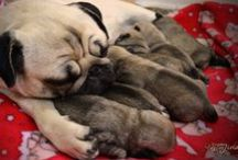 Pugs! / by Victoria