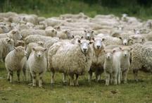 Sheep / by Marcia Johnson