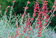 Planting in California / Plants that are native to California or a Mediterranean climate, and/or are drought tolerant. / by SheIsWest