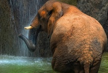 Elephant photos / A collection of photos of elephants-gotta love it!! / by Julie Vallee