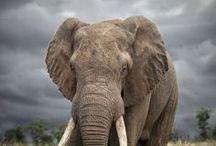 Elephant / by Joan Sloth