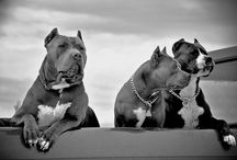 Pitbull loverr / by Anicia Lee