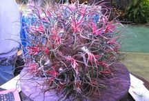 Tillandsias (tə-ˈlan(d)-zē-ə) / Family: Bromeliaceae (bro-mee-lee-AY-see-ee) Genus: Tillandsia (til-LAND-see-uh) A Tillandsia is a Bromeliad...but not all Bromeliads are Tillandsias. The thinner-leafed varieties grow in rainy areas and the thick-leafed varieties in areas more subject to drought. / by Pamela Seeley Sorrels