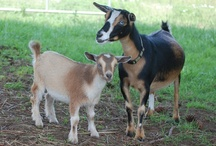 I Miss My Goats! / by Linda Christie