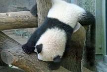 Panda / by Tetsuya Hara