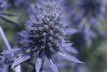 Perennial Flowers / by Swallowtail Garden Seeds