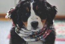 Bernese Mountain Dogs / by Emily Horkay
