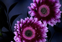 Love Gerber Daisies / by Karla Knight