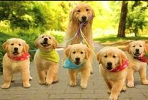 Loving Labs and Goldens / Loving pictures of labs and goldens / by Cyndee Lehner