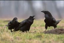 Crows & Ravens / by Leah Gullion