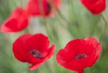 Poppies; / by Amanda Solomon